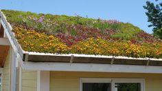 sedum shed roof I can dream, can't I?