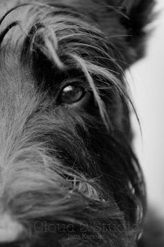 beautiful eyes: must be a Scottish Terrier