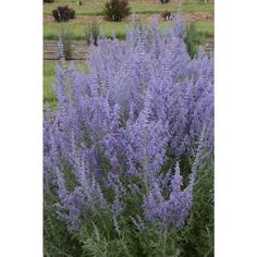 Proven Winners Denim 'N Lace Russian Sage (Perovskia) Live Plant, Blue-Purple Flowers, 3 Gal.-PRVPWP1023136 - The Home Depot