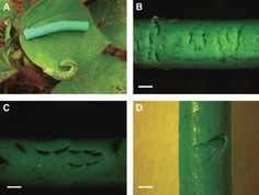 Figure 1: Artificial plasticine caterpillars showing signs of...