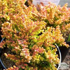 Buy Calluna vulgaris Firefly (Scots Heather) online from Jacksons Nurseries Hydrangea Care, Hydrangeas, Soil Ph, Liquid Fertilizer, Ground Cover Plants, Perfect Plants, Low Maintenance Garden, Different Plants, Types Of Soil