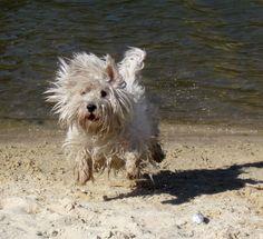 West Highland White Terrier - Tara