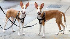 Podenco Ibicenco | Hondenrassen, honden nieuws en meer! Hondenrassen.NU