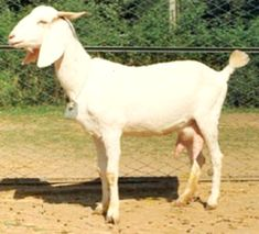 #goatvet likes the Surti goat from India- ideal for milk production in a stall fed situation