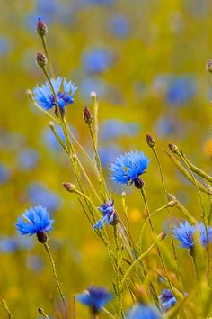 Ideas For Wild Nature Garden Fields Patterns Background, Wild Flowers, Beautiful Flowers, Wildwood Flower, Blue Garden, Wild Nature, Plantation, Flower Wallpaper, Flower Photos