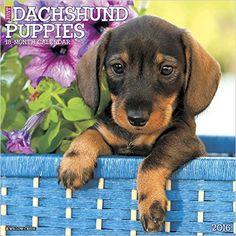 2016 Just Dachshund Puppies Wall Calendar: Willow Creek Press: 9781623436797: Amazon.com: Books