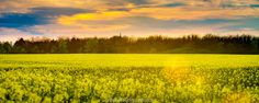 Canola Field (ii) by Andrei Robu - RoSonic.photos on 500px