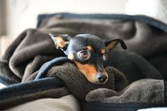 #minipin #minpin #miniaturepinscher #pinscher #Meisa Mini Pinscher, Miniature Pinscher, Doberman Pinscher, Funny Animals, Cute Animals, Pretty Animals, Bow Wow, Pet Life, Dog Care