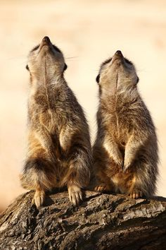 Can you see it? Where where? Meerkats by Alan Hinchliffe