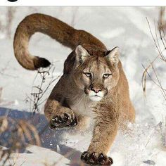 National geographic photo contest 2014 - Mountain Lion (puma or catamount or cougar) (Puma Concolor) running in snow near Bozeman, Montana, USA. Animals Of The World, Animals And Pets, Cute Animals, Animals In The Wild, Wild Life Animals, Jungle Animals, Funny Animals, Beautiful Cats, Animals Beautiful