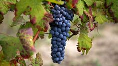 The portrait of Nebbiolo grapes