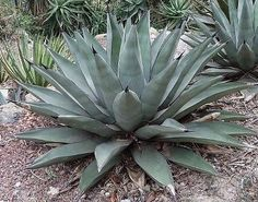 Agave-Agave-parryi