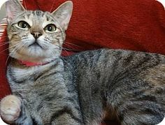 Pictures of INDIA a Domestic Shorthair for adoption in Dallas, TX who needs a…