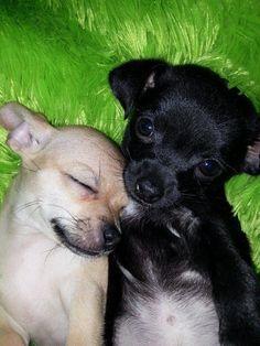 Awwwww Chihuahua love