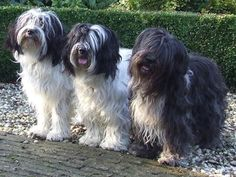 Ready to please :) Happy Pills, Old English Sheepdog, Dogs And Puppies, Doggies, Collie, Dog Breeds, Dog Cat, Sheep Dogs, Wild Animals