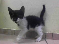 TO BE DESTROYED 6/18/14 ** BABY ALERT! ONLY 7 WEEKS OLD- Upon intake kitten was friendly; two kittens: A1003118, A1003117 ** Brooklyn Center My name is SKYE. My Animal ID # is A1003117. I am a female black and white domestic sh. The shelter thinks I am about 7 WEEKS old.  I came in the shelter as a STRAY on 06/13/2014 from NY 11208. I came in with Group/Litter #K14-181399.