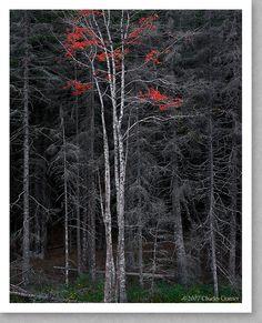 Charles Cramer, Bare Trees, Red Leaves, Acadia, Maine