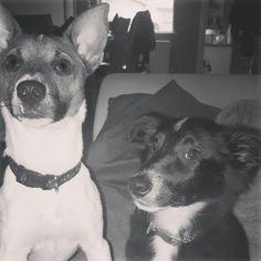 Finn and Rhea #puppies #besties #jackrussell #shetlie #pups