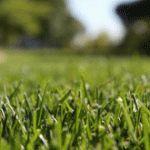 Tall Fescue Lawn Care