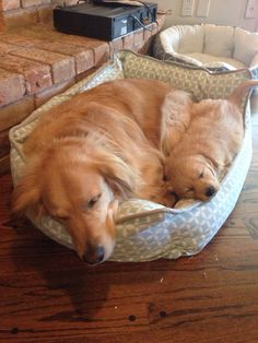 Golden Retriever Puppies 60 Times Golden Retrievers Were So Adorable You Wanted To Cry Cute Puppies, Cute Dogs, Dogs And Puppies, Doggies, Baby Animals, Funny Animals, Cute Animals, Retriever Puppy, Golden Retrievers