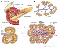 Acinar Cells are located in the pancreas OUTSIDE the Islets of Langerhans.