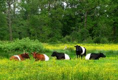 Admittedly, they're still just cows. But what cows!  ----------------------------------Lakenvelders ~ Dutch Belted cows by Sigrid Frensen, via Flickr