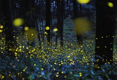 Catching Fireflies on Camera: A photographer immerses himself in one of nature's most dazzling light shows.