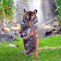 A Tiger cub and its mom at the SF Zoo   Photo by @furrtographer by earthpix