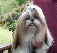 Cute Shih Tzu  {Looks like my little Mia... well, that is until I gave her a haircut this week. SP}