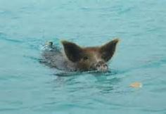 Swimming pigs - Bing Images