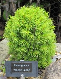 "Picea glauca ""Alberta Globe"" - useful dwarf conifer for a rock garden or alpine sink."