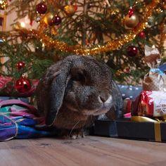 Merry Christmas from me too ❣️❣️❣️ #Bunny #Bunnies #Rabbit #Rabbits #Bunnylove #Rabbitlove #BunnyRabbit #Bunnyofinstagram #Bunniesofinstagram #Bunnyinstagram #Bunnyinsta #Instabunny #Bunniesofig #Bunnystagram #Bunnyworld #Bunnyoftheday #Bunniesoftheworld #Rabbitworld #Bunniesworldwide #Rabbitsworldwide #Pet #Pets #Petofinstagram #Petsagram #Animal #Minilop #Bunnyaccount #Rabbitaccount #Animalaccount  Check my partners ❤️❤️❤️