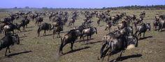 Wildebeest on the Serengeti Kenya, Geography, Africa, Horses, History, World, Animals, Historia, Animales