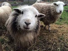 that's an expression usually reserved for guinea pigs... Herdwick sheep