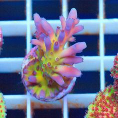 Saltwater Aquarium Fish - Find incredible deals on Saltwater Aquarium Fish and Saltwater Aquarium Fish accessories. Let us show you how to save money on Saltwater Aquarium Fish NOW! Coral Reef Aquarium, Saltwater Aquarium Fish, Saltwater Tank, Marine Aquarium, Tropical Freshwater Fish, Freshwater Aquarium Fish, Tropical Fish, Coral Frags, Sps Coral