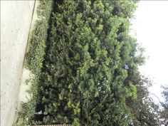 Podocarpus gracilior makes a great hedge as well as a moderate sized tree. These Podocarpus trees were recently planted into their 24 inch boxes. Tropical Backyard, Small Trees, Hedges, Garden Plants, How To Dry Basil, The Neighbourhood, Nursery, Tropical Patio, The Neighborhood