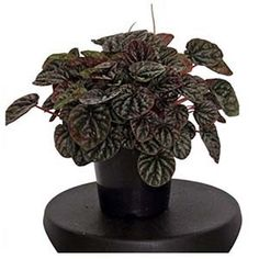 Red Ripple peps rocking the color and the texture for a little pick me up indoors. Begonia, Indoor Tropical Plants, Peperomia Plant, Green Queen, Apartment Plants, Growing Flowers, Houseplants, Garden Plants, Orchids