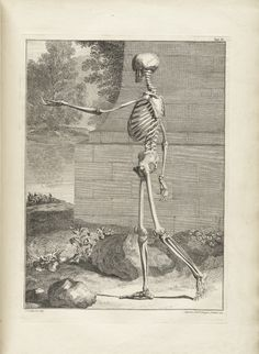 Table 3 of Bernhard Siegfried Albinus' Tabulae sceleti et musculorum corporis humani, 1749, featuring a full length left size view of a skeleton in a landscape with its left arm is extended.