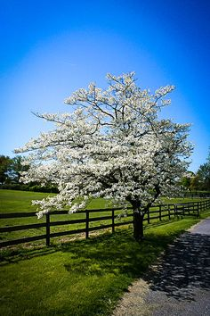 Since they grow only 15 to 30 feet tall, there is room for a dogwood tree in almost any landscape. They seldom need pruning, but when the need does arise, correct dogwood tree pruning is important. Learn more here. Deciduous Trees, Trees And Shrubs, Trees To Plant, White Flowering Trees, Dogwood Trees, Dogwood Flowers, Flower Tree, Garden Shrubs, Garden Fences