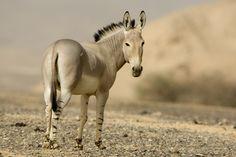 De Nubische wilde ezel Je vindt de dieren in de bergen van Noord-Afrika, maar ook op graslanden, halfwoestijnen en rotsachtige streken.  Het zijn dieren die liever tijdens de nacht eten of vroeg in de ochtend.  Als het overdag te heet is, dan rusten ze op plekjes in de schaduw.  Ze houden van grassen en kruiden.