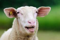 Sheep, bäääää