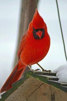 Cardinal by cheryl smith, via 500px~cl