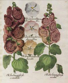 Alcea rosea L. [as Malva hortensis flore simplici albo] hollyhock. Bessler, Basilius, Hortus Eystettensis, 1640. Illustration contributed by Teylers Museum, Haarlem, The Netherlands. Antique botanical illustration.