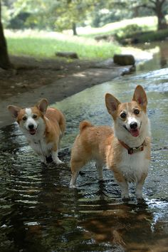 The Daily Corgi