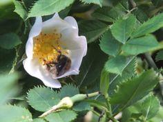 Heckenrose (Rosa corymbifera), Biene beim Nekltarsammeln