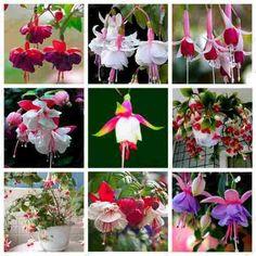 40 sementes brinco de princesa várias cores flor rosa bonsai
