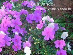 """http://www.cultivando.com.br/plantas_detalhes/manaca_da_serra.html  Nome popular: Manacá-da-serra; Cuipeuna; Manacá-da-serra-anão.  Nome científico: Tibouchina mutabilis (Vell.) Cogn. """"Nana"""".  Família: Melastomataceae.  Origem: Brasil."""
