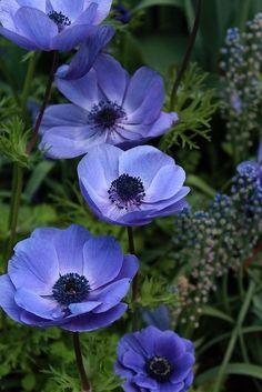 Anemone Coronaria (Windflower)