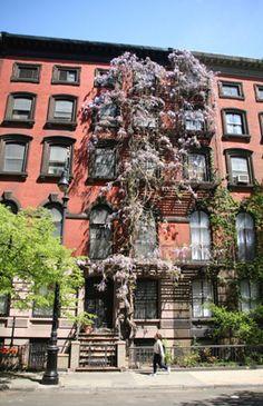 #NBAPlayoffs #NYC #StuyvesantStreet #Wisteria #BriceDailyPhoto