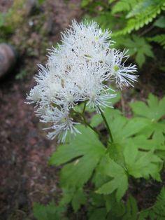 False Bugbane (Trautvetteria caroliniensis)